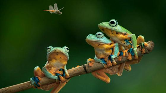 Frogs on a twig wallpaper