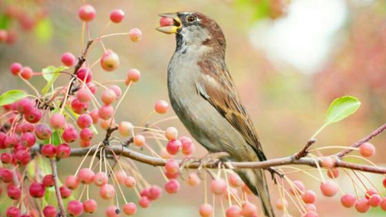 House sparrow on a twig wallpaper