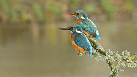 Kingfishers on a twig wallpaper