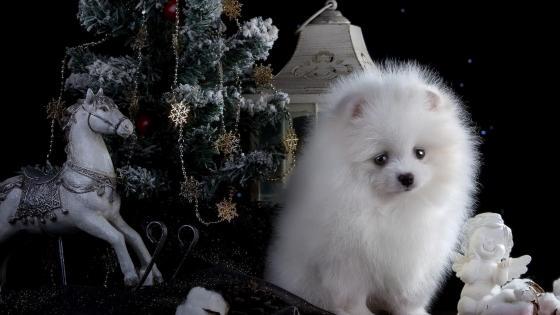 White Pomeranian dog between the Christmas tree wallpaper