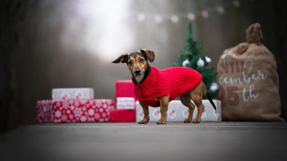 Dog with Christmas gift wallpaper
