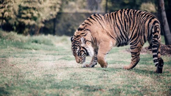 Tiger in Ranthambore National Park wallpaper
