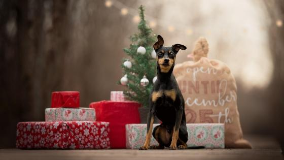 Dobermann puppy on Christmas Day wallpaper
