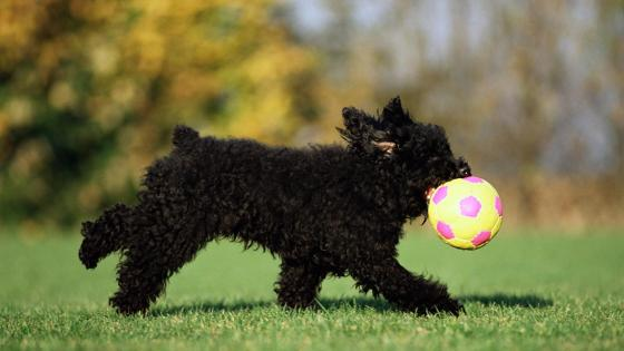 Playing Black Pumi puppy wallpaper