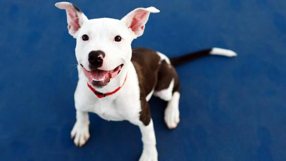 American Pit Bull Terrier puppy wallpaper