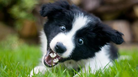 Border Collie puppy wallpaper