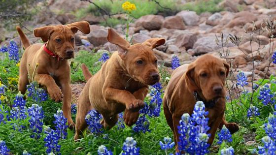 Vizsla dogs in the wildflowers wallpaper