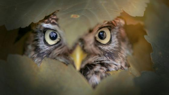Peeping owl wallpaper