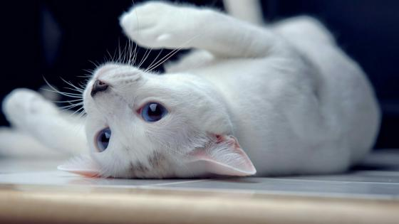 White cat with blue eyes wallpaper