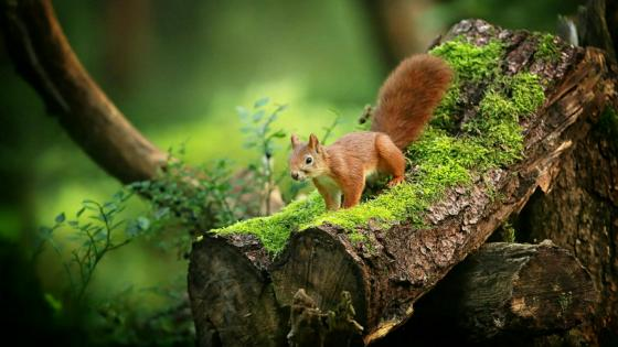 Squirrel on a mossy trunk wallpaper