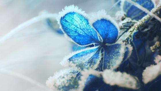 Blue flower in hard rime wallpaper