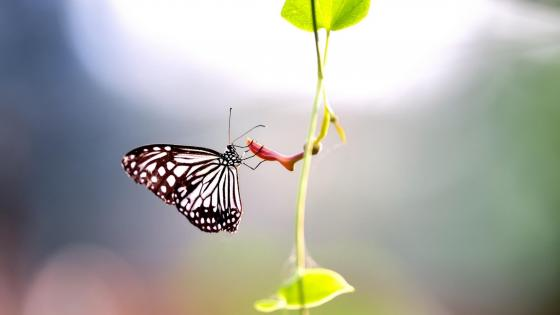 Butterfly on a stem  wallpaper