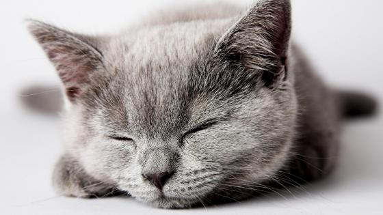 Sleeping grey kitten wallpaper