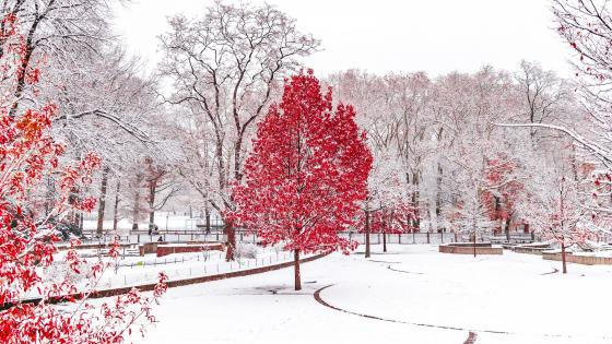 Red tree in the snow wallpaper