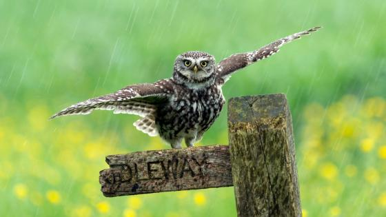 Owl in the rain wallpaper