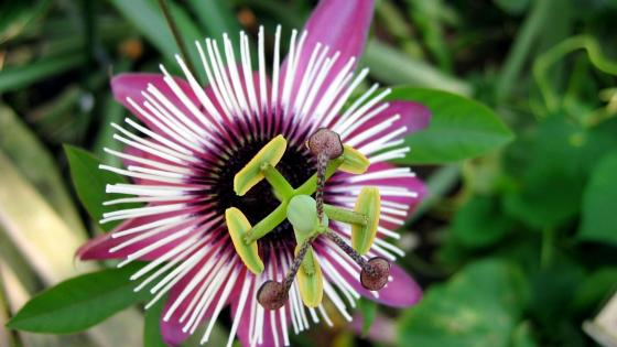 Purple passionflower wallpaper