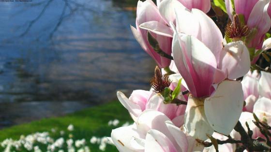Magnolia blossom wallpaper