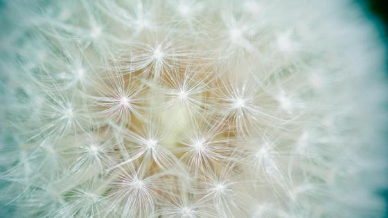 Dandelion seeds wallpaper