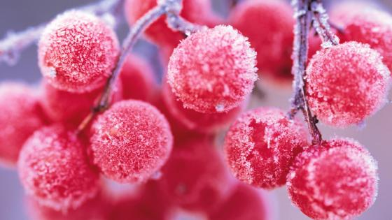 Frozen rowan berries wallpaper