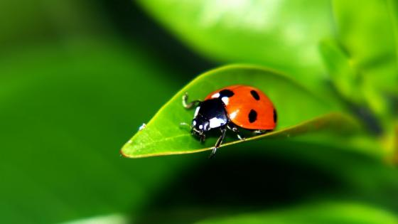 Ladybug on a leaf  wallpaper