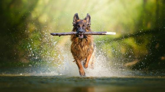 German Shepherd dog apport training wallpaper