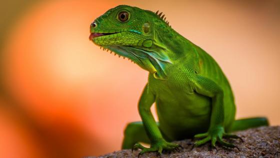 Green lizard wallpaper
