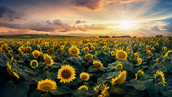 Sunflower sea wallpaper