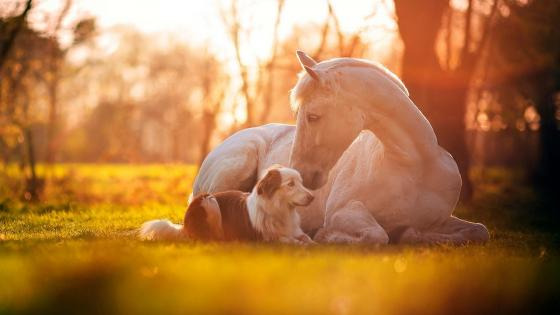 White horse with a dog wallpaper