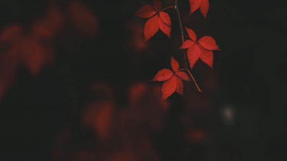 Red leaves wallpaper