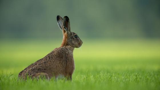 Hare rabbit in the grass wallpaper