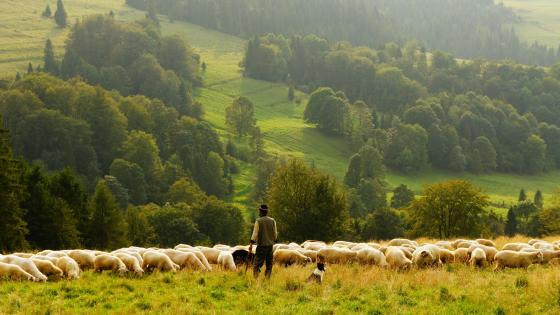 Sheep shepherd wallpaper
