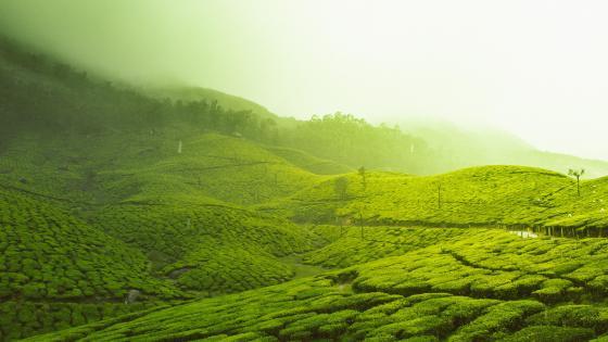 Tea plantation in Kerala wallpaper