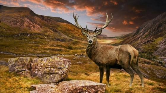 Deer on a hill wallpaper