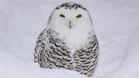 Snowy owl (Bubo scandiacus) wallpaper