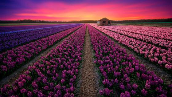 Hyacinth field - Netherlands wallpaper