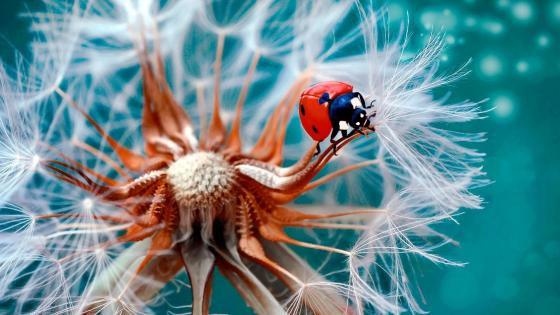 Ladybird on a dandelion flower wallpaper