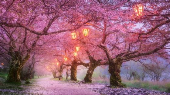 Iwakuni cherry blossom, Japan wallpaper