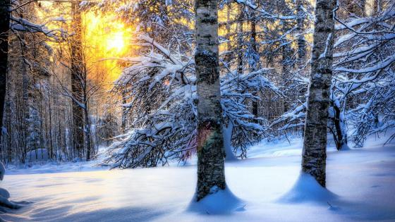 Morning in the winter forest wallpaper