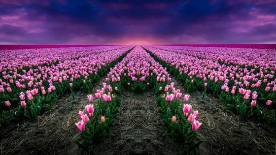 Endless tulip farm wallpaper