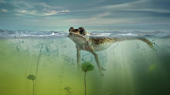 Frog floating on water wallpaper