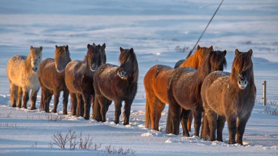 Icelandic horse herd wallpaper