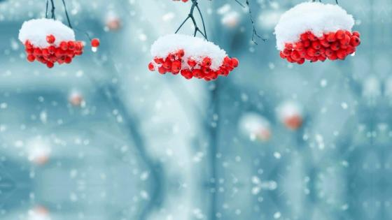 Bright berries behind the snow wallpaper