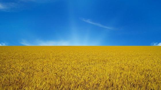 Summer wheatfield wallpaper