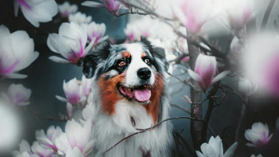 Australian Shepherd dog among the magnolia flowers wallpaper