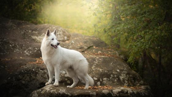 Berger Blanc Suisse wallpaper