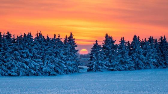 Sunset through pine trees wallpaper