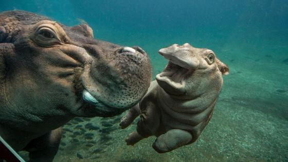 Hippo baby with mom - Underwater photography wallpaper