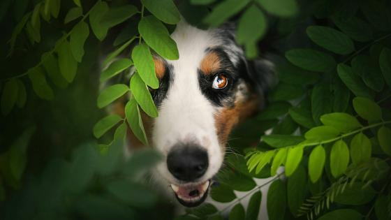 Australian Shepherd in the bush wallpaper