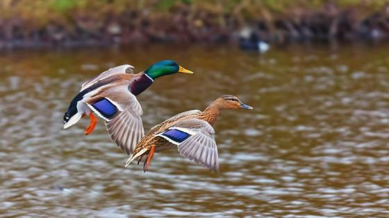 Flying Mallards wallpaper