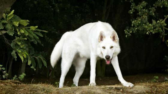 White Northern Inuit dog wallpaper